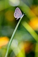 Delicate spotted winged butterfly on blade of grass with yellow flowers in background, Malawi