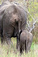 Mother and baby elephant walking together view from the rear, Kruger National Park, South Africa