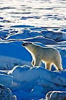 Polar bear Ursus maritimus on multi-year ice floes in the Barents Sea off the eastern coast of Edgeøya Edge Island in the Svalbard Archipelago, Norway