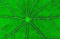 Nasturtium leaf detail, Tropaeolum majus