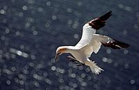 Northern Gannet in flight, Bass Rock, Scotland, Sula bassana, Morus bassanus
