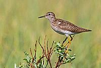Wood Sandpiper, Varanger peninsula, Norway, Tringa glareola
