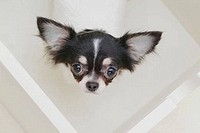 High angle view of a Chihuahua puppy
