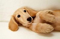 Close-up of a dachshund lying