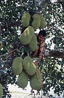 Low angle view of a mid adult man picking jackfruits, Silent Valley National Park, Palakkad District, Kerala, India