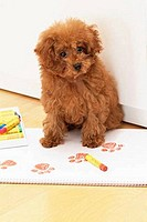 Toy Poodle puppy sitting on a sketch pad