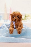 Toy Poodle puppy in a box
