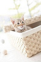 Ocicat kitten in a basket