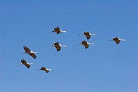 Low angle view of Sandhill cranes Grus canadensis flying