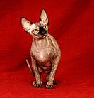 sphinx cat or naked cat