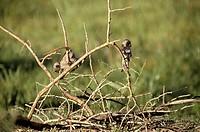 cercopithecus cub, cercopithecus aethiops, amboseli national park, kenya