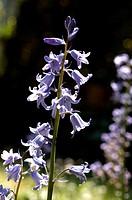 hyacinthoides excelsior
