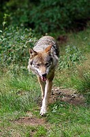 wolf, canis lupus, europe, germany, bayerischer wald national park