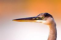 Feeding heron.