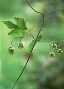 Humulus lupulus, Hop