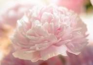 Paeonia lactiflora 'Sarah Bernhardt', Peony