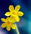 Narcissus, Daffodil