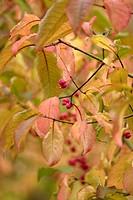 Euonymus hamiltonianus, Spindle Tree