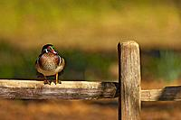 Wood Duck (Aix sponsa), male