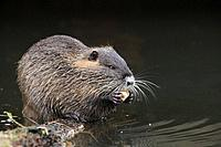 Nutria or coypu, Myocastor coypus, feeding, Germany