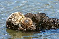 Sea otter (Enhydra lutris), Monterrey Bay, California, USA
