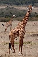 Masai Giraffe, Giraffe, Giraffa camelopardalis tippelskirchi