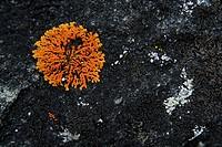 lichen,