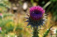 Blessed Milk Thistle, Marian Thistle, Mary Thistle, Silybum marianum