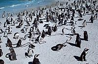Jackass Penguins at Boulders Beach, South_Africa, Spheniscus demersus