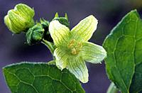 Cretan Bryony, Belgium, Bryonia cretica, Bryonia dioica, White Bryony