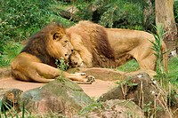 two lions _ smooching / Panthera leo
