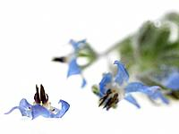 Raw Food, Herbs, Borage (thumbnail)