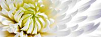 White Chrysanthinum close up