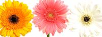 Three assorted Gerbera flowers in a row