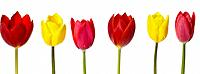 Row of six Coloured Tulips