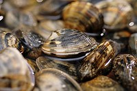 Clams in water close_up