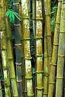 Bamboo stems, cloud forest on a volcano in the Minahasa highlands, North Sulawesi, Indonesia