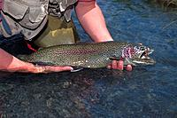 Man holding trout Kenai River Southcentral AK summer close_up