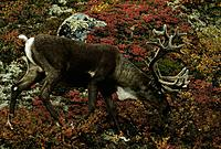 Caribou fall colorful tundra velvet antlers Interior AK fall portrait
