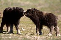 Young Muskox calves in meadow Captive Alaska Wildlife Conservation Center SC Alaska Summer