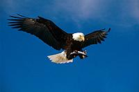 Bald Eagle In Flight Carrying Dolly Varden KP AK Composite