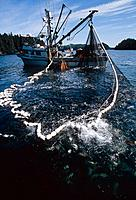 Commercial seiner fishing boat hauling in large catch of pink salmon Southwest AK Kodiak Archipelago Summer