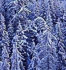 Snowcovered spruce trees Kenai Penninsula winter AK