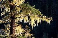 Spruce tree covered with lichen & icicles Tongass National Forest Southeast Alaska Winter