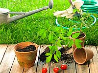 Cherry tomatoes and a tomato plant with gardening equipments