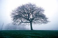 Tree in the Fog, Front View, Pan Focus