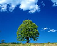 Big Tree and Blue Sky, Front View, Pan Focus