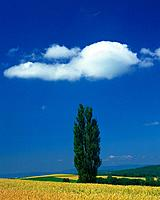 Big Tree in the Field and Blue Sky, Front View, Pan Focus