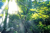Trees in the Woods and Sunshine, Low Angle View, Lens Flare