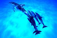 Medium Group of Spotted Dolphins are Swimming Underwater